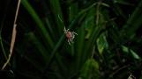 Madagascar spider