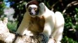Madagascar Sifaka lemur2
