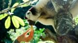 Madagascar Sifaka lemur3