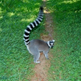Madagascar ring tailed lemur