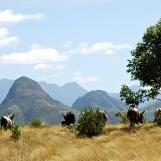 Madagascar cows