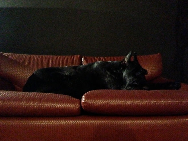 Iber-Giant-Schnauzer-sleeping-leather-couch