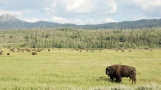Road-trip-national-parks-USA-bison-Wyoming-summer-2013
