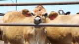 Road-trip-national-parks-USA-cows-farm-summer-2013