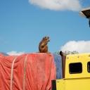Zambia-baboon-truck-2010-livingstone