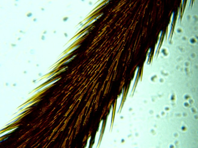 Microscope-LCD-horse-fly-leg-1