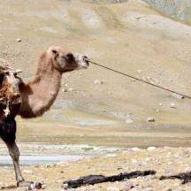 Mongolia-camel-boy-ulgi-thegeneralist