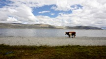 Mongolia-cows-lake-khoton-altai-tavan-bogd-national-park-thegeneralist