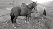 Mongolia-Ulgi-horses-portrait-thegeneralist